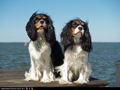 boat cavalier king charles spaniel friends goggie ob teh week ocean sailing water