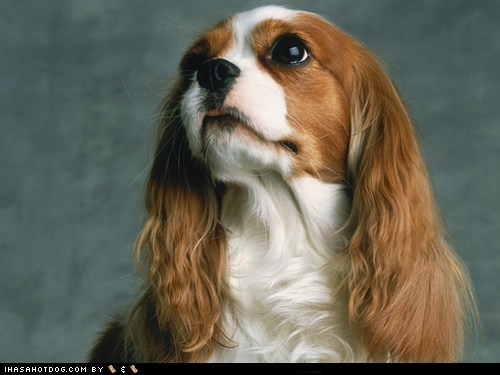 adorable cavalier king charles spaniel goggie ob teh week puppy dog eyes sweet face - 5796877056