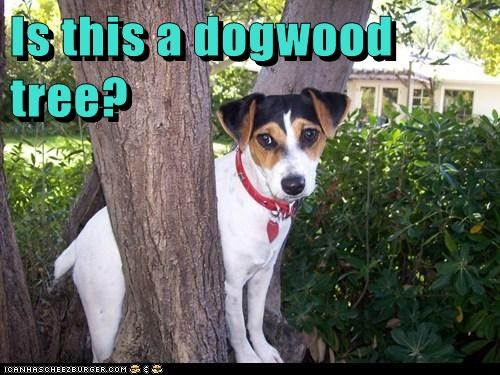 dogwood,dogwood tree,outdoors,tree,whatbreed