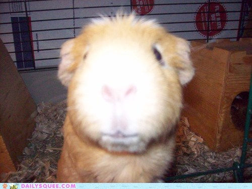 camera guinea pig hog reader squees selfish - 5797723904