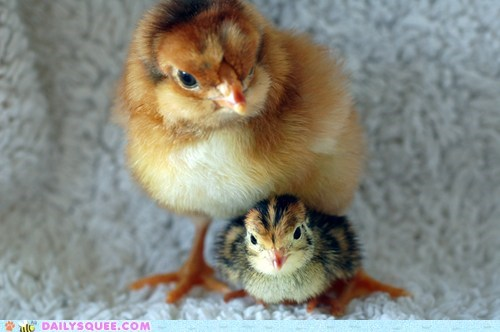 Babies baby chick chicken chicks comparison difference giant Hall of Fame quail reader squees size - 5797975296