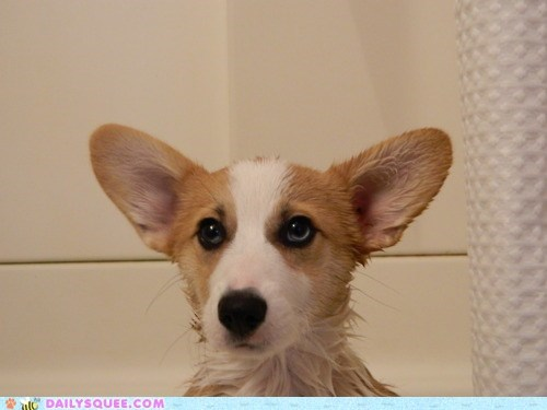 bath,bathing,corgi,cute,cutesy corgi bath time,equation,math,puppy,soggy,unbearably squee,wet