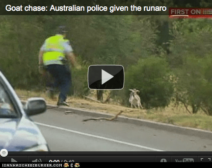around the interwebs,chase,chasing,goats,news,people pets,Video