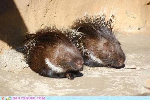 asleep fuzzy prickly sleeping sleepy whatsit whatsit wednesday - 5802799360