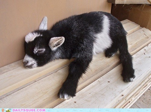 asleep baby calf dimensions goat Hall of Fame pun pygmy goat sleeping snore snoring two-by-four - 5802975744