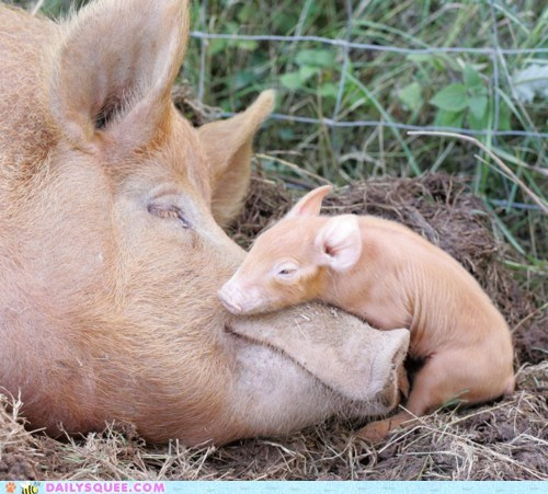 asleep baby Hall of Fame mother multipurpose nose pig piglet pragmatic sleeping