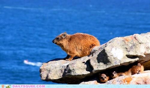 Babies baby mother perching pride proud rock rock hyrax rock hyraxes squee spree standing - 5803002112