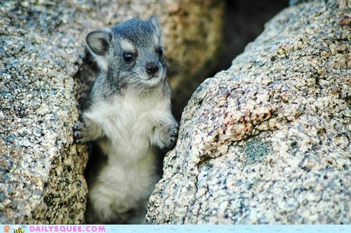 baby,climbing,namesake,peeking,rock hyrax,rocks,squee spree,standing