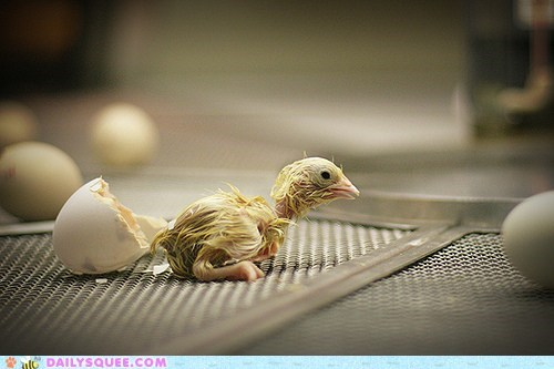 baby chick chicken creepicute hatched hatchling just newborn poll tiny