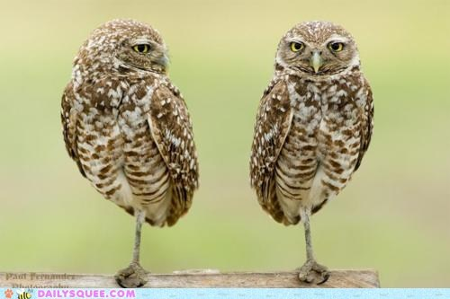 acting like animals,comparison,contest,contrast,difference,Owl,owlet,owlets,owls,standing,Staring