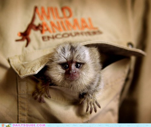 abandoned baby Hall of Fame hiding marmoset monkey pocket rescued tiny