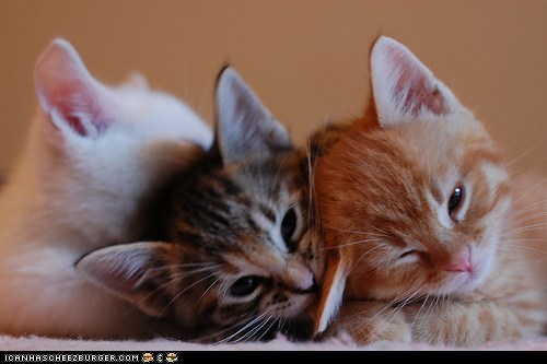 cyoot kitteh of teh day in a row line three cats - 5808391168