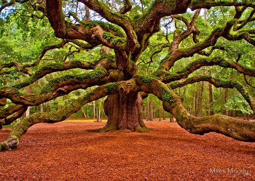 angel oak,beautiful,brown,getaways,green,north america,oak tree,orange,south carolina,tree,united states