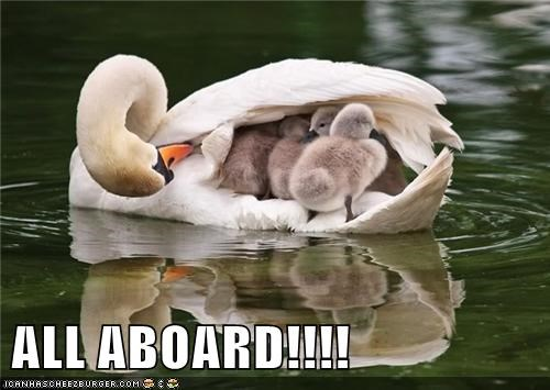 all aboard,animals,birds,cygnets,swan,sygnet