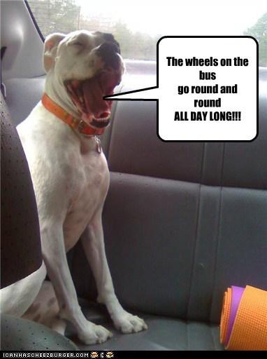 car car ride happy dog pit bull pitbull singing song wheels on the bus - 5811627520