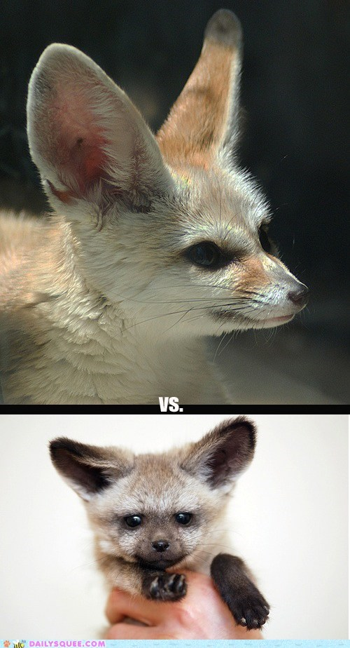 bat-eared fox bat-eared foxes contest fennec fennec fox fennec foxes fennecs fox foxes poll squee spree - 5814038272