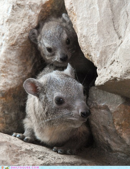 Babies,baby,pun,rock hyrax,rock hyraxes,shy,squee spree,timid