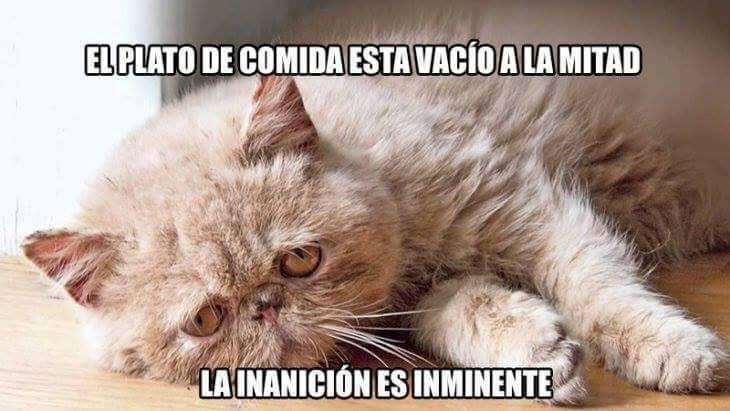 memes felinos
