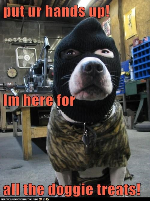 balaclava,dog treats,noms,pit bull,pitbull,robber,treat