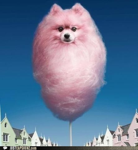caption contest cotton candy photoshopped pomeranian what - 5817896960