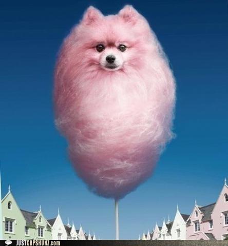 caption contest cotton candy photoshopped pomeranian what - 5817896960