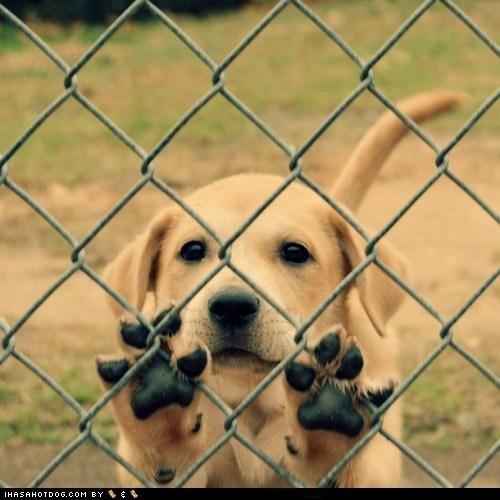 adorable cute puppy cyoot puppeh fence jailbreak labrador retriever puppy - 5818119424