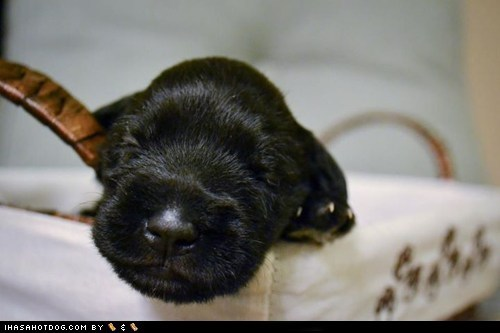 adorable,asleep,cute puppy,cyoot puppeh,puppy,schnauzer,sleeping
