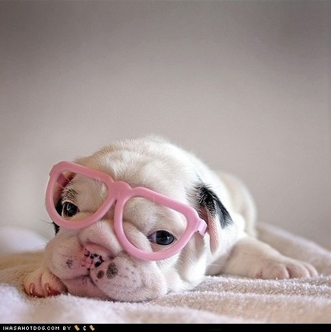 adorable bulldog cute puppy cyoot puppeh eyes glasses puppy - 5818129408