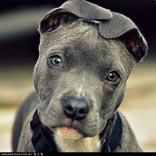 adorable cute puppy cyoot puppeh ears folded ears pit bull pitbull puppy sweet face - 5818135296