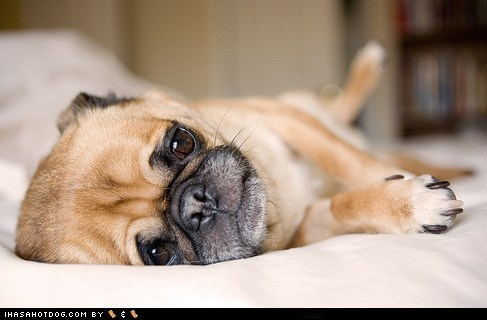 adorable bad dog cute puppy cyoot puppeh in trouble pug puppy time out - 5818137856