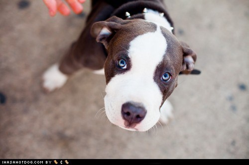adorable cute puppy cyoot puppeh eyes pit bull pitbull puppy puppy dog eyes - 5818149376