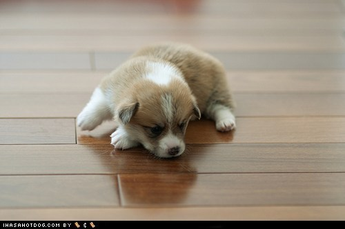 adorable,corgi,cute puppy,cyoot puppeh,puppy