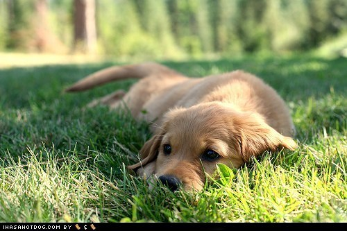 adorable cute puppy cyoot puppeh golden retriever grass laying down outdoors puppy - 5818160384