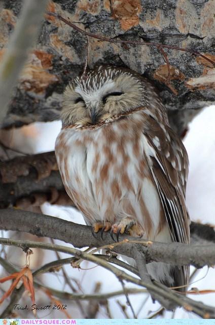 adorable Hall of Fame Owl owlet peaceful serene sleeping zen - 5818276864