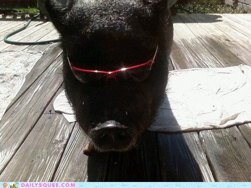 notorious notorious-b-i-g pig piglet pun reader squees sunglasses - 5819657472