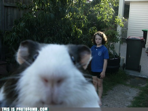 Animal Bomb,animals are dumb,best of week,guinea pig,hamster,peru