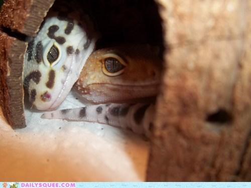GIF of very cute geckos cuddling in a little spot.