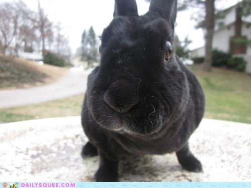 black bunny close face rabbit - 5824696064