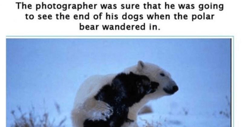 nature Canada friendship polar bear sled dog wild - 5826821