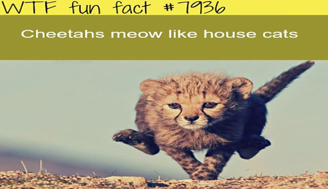 wtf facts about cheetahs