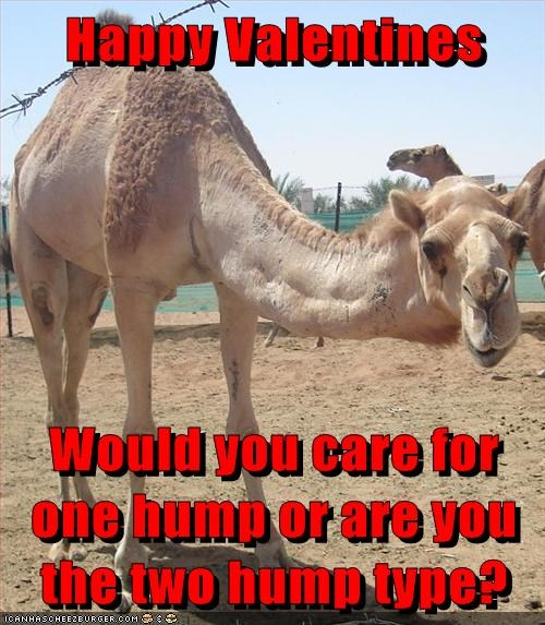 camel love one hump two humps Valentines day