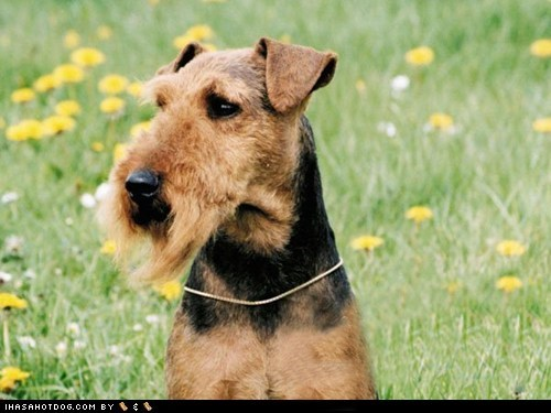 goggie ob teh week outdoors welsh terrier welshie - 5833415680