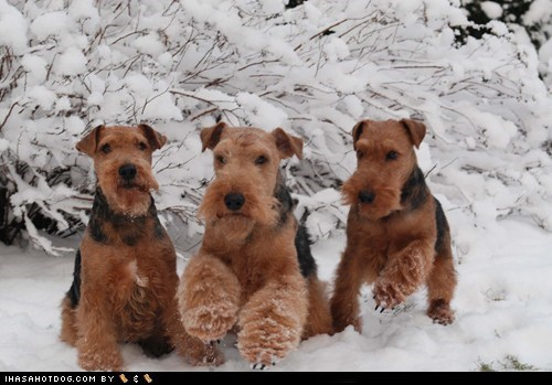 friends,goggie ob teh week,outdoors,play,playing,snow,welsh terrier,welshie,winter