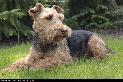 goggie ob teh week laying down oudoors welsh terrier welshie - 5833425920