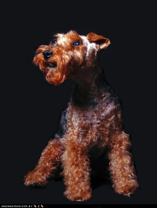 Best In Show goggie ob teh week handsome pose posing welsh terrier welshie - 5833428224