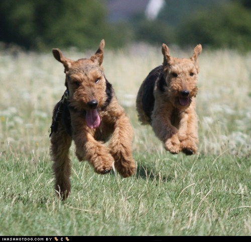 friends,goggie ob teh week,happy,happy dogs,outdoors,play,playing,running,welsh terrier,welshie