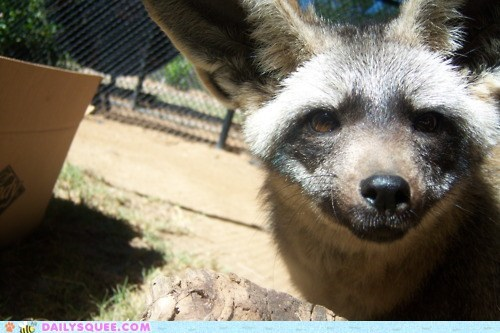 baby bat-eared fox brown ears eyes fox kit squee spree - 5835536896