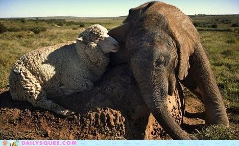 baby,classic,elephant,friends,friendship,heartwarming,Interspecies Love,lamb,sheep,touching,Valentines day