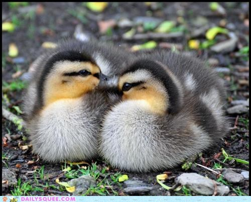 Babies baby duck ducklings love two of a kind Valentines day