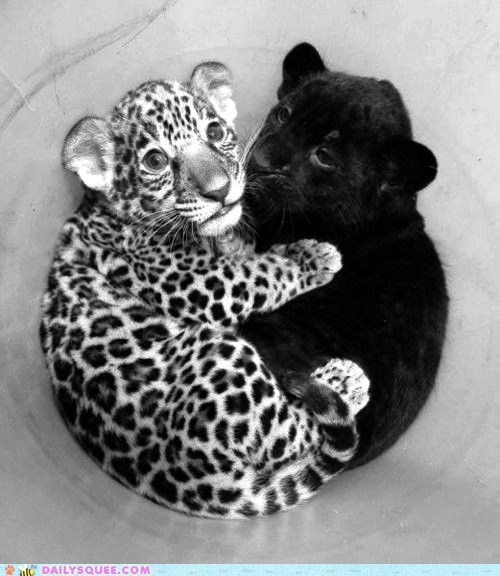 cuddles friendship jaguar leopard love Valentines day squee - 5835629312